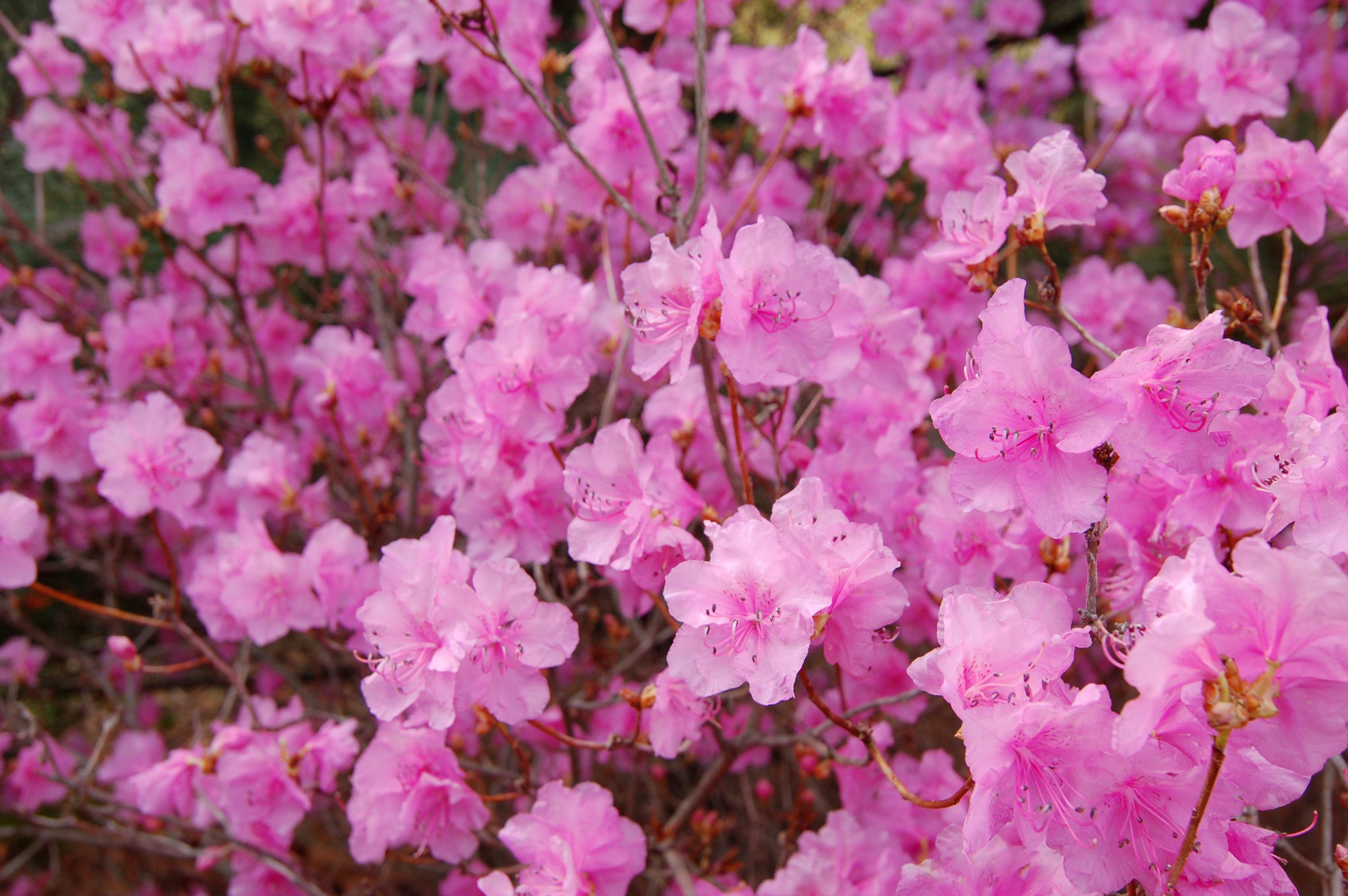 Korean_Rhododendron_Rhododendron_mucronulatum_'Wheeldon_Pink'_Flowers