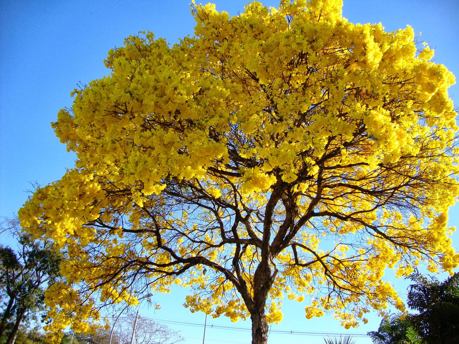 ipê-amarelo-árvores-no-quintal-de-casa