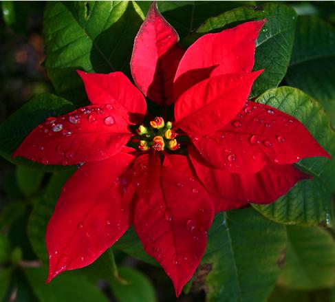 Poinsétia: a flor símbolo do Natal
