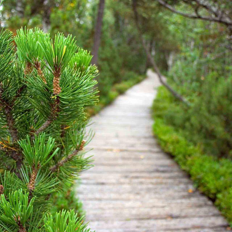 Pinheiro: a árvore símbolo do Natal