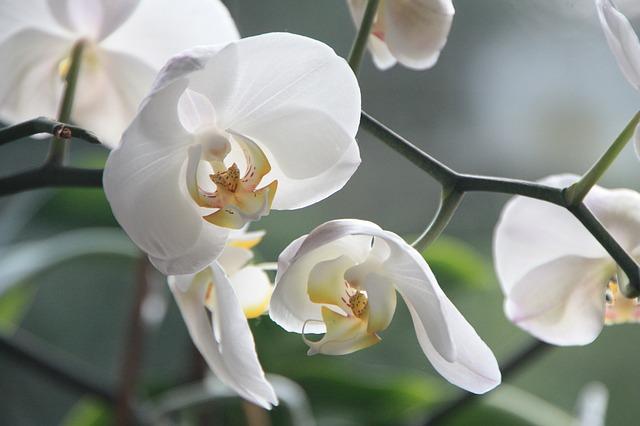 Cuidados com Orquídeas para futuros orquidófilos
