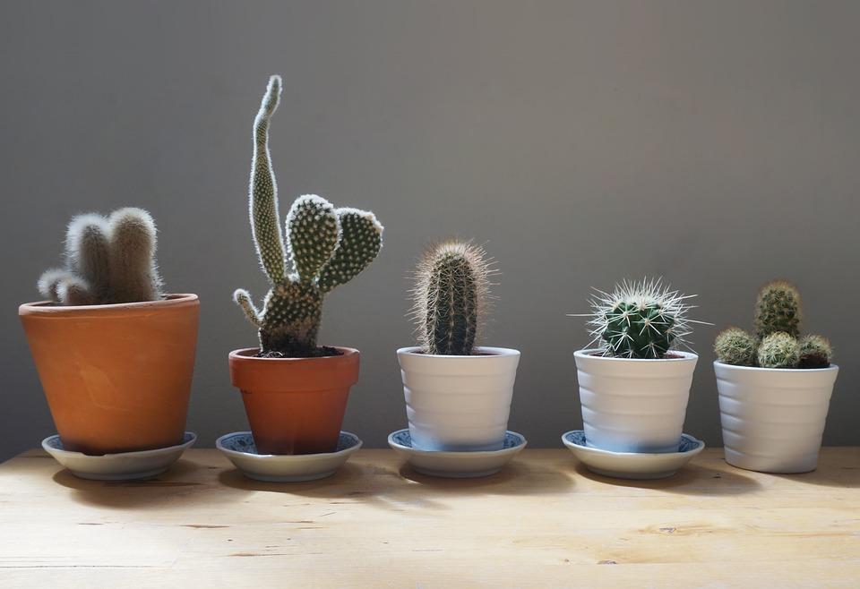 Cactos em casa: como cuidar da planta